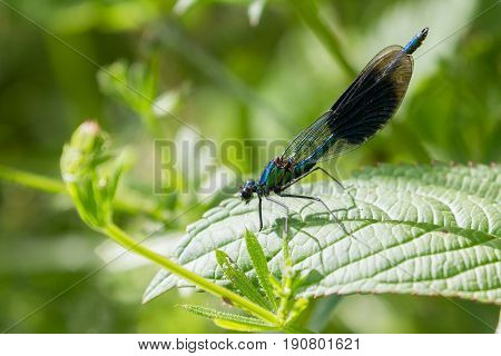 Adult Male Banded Demoiselle fly perched on Leaves