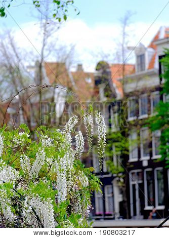 white Wisteria flowers with canlside houses in amsterdam