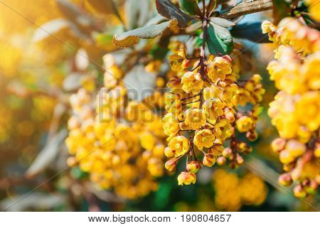 Flowers Of The Barberry Bush Close Up.