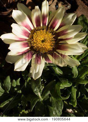 Beautiful single white gazania on the garden