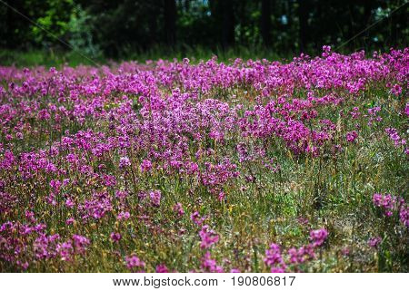 Field with purple Sticky Catchflowers all over