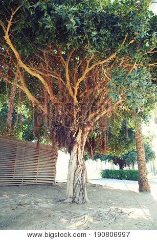 Old Unusual Big Branchy A Tree In Spain