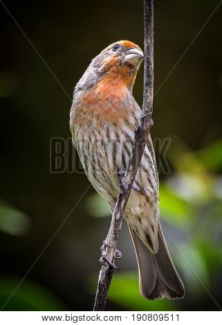 Male House Finch clinging to a branch in the morning sunlight.