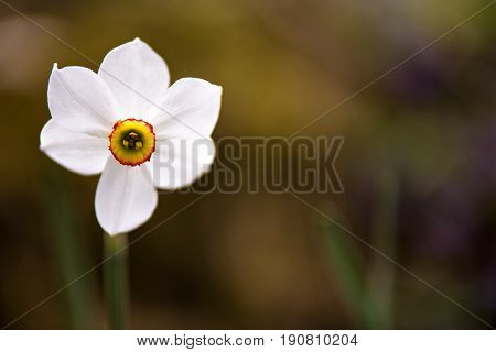 White Narcissus Flower Blossoming. Single Daffodils Flower