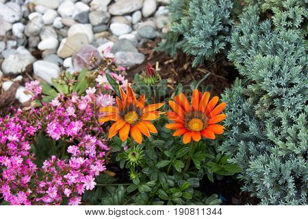 Beautiful two orange gazania and purple lewisia with white stones on the garden. On the right is juniper.