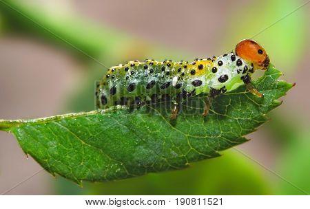 Macro of a caterpillar eats a leaf.