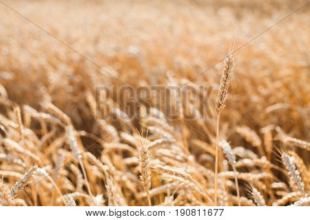 the field of the ripened gold wheat closeup. harvest, agriculture, agronomics, food, production, eco concept. empty space for the text.