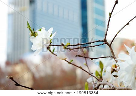 Blossom Tree With Skyscraper On Background