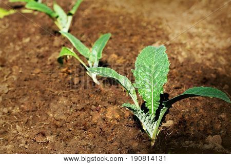 Young artichoke plants cultivated in a field .