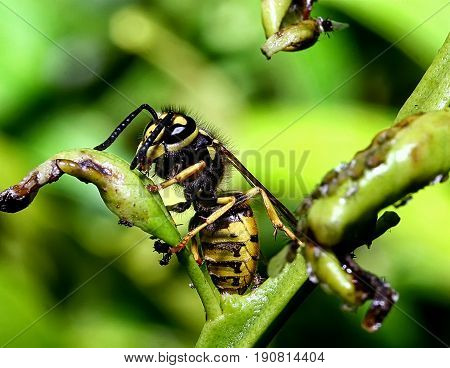 Macro of an wasp leaning against a ruined leaf.
