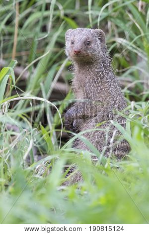 Banded mongoose is the lookout in long green grass