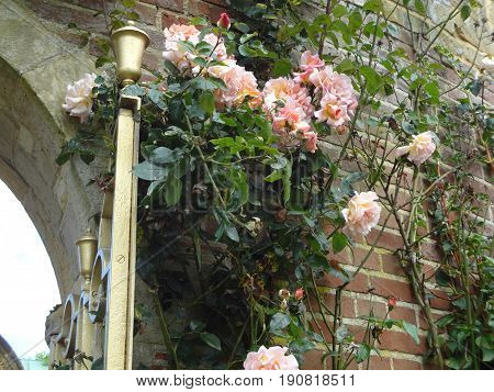 Beautiful pink roses growing against a brick wall next to a gold-colored outdoor lamp.