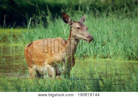 Hind walking in shallow water on sunny day in spring