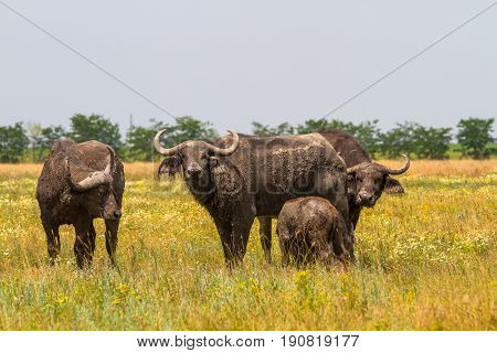 The Family Of Kafr Buffaloes In The Steppe Looks At The Photographer