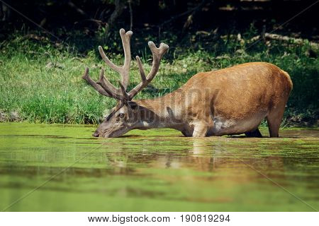 Red deer with growing antlers drinking water from pond in forest