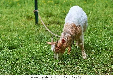 Young goat grazes on green grass tied to the post