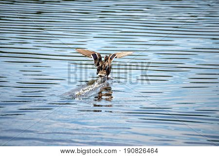 A female duck lands in the middle of the lake