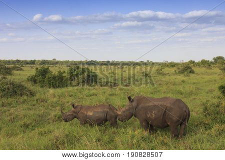 White Rhinos, mother and calf