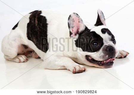 Portrait in Studio of a cute bulldog lying down isolated on a white background