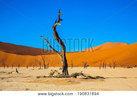 Travel to Namibia. Park Namib-Naukluft National Park. Picturesque dry trees at the bottom of dried lake