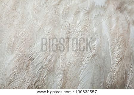 Greater rhea (Rhea americana), also known as the common rhea. White leucistic form. Plumage texture.