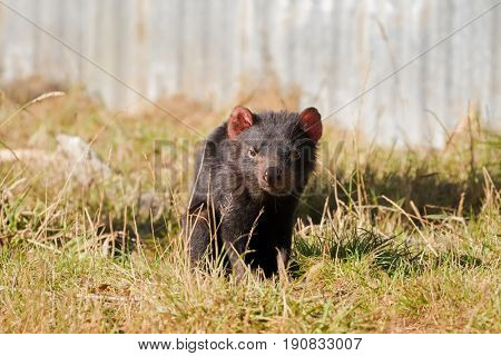 Tasmanian devil walking on green field in the sun, afternoon in Tasmania, Australia (Sarcophilus Harrisii)