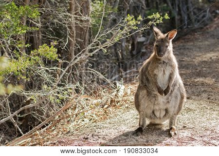 Red-necked wallaby standing on forest ground in the sun, afternoon in Tasmania, Australia