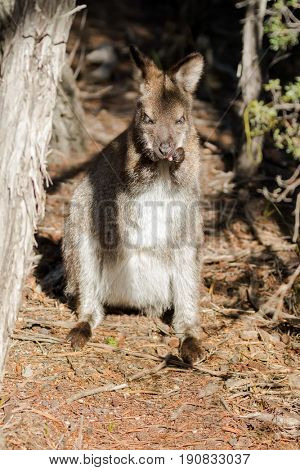 Red-necked wallaby standing grooming itself on forest ground in the sun, afternoon in Tasmania, Australia