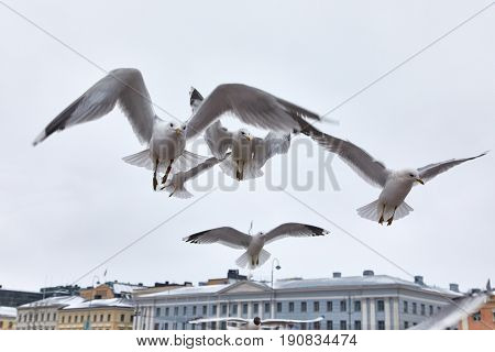 Flying seagulls up very close, coming for food