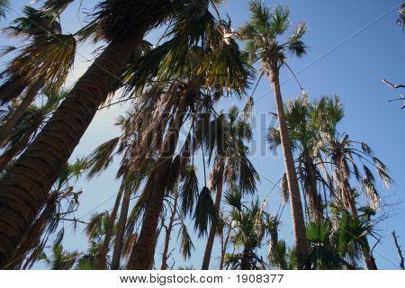 Storm Damaged Palm Trees