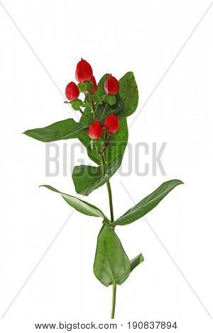 Beautiful hypericum plant on white background