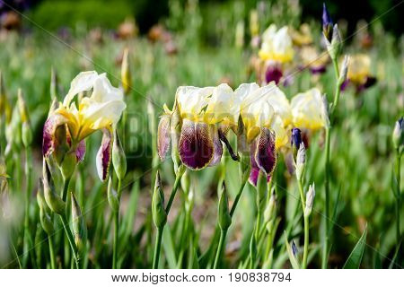 Yellow irises of GO FOR BOLD variety