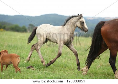 Amazing welsh part-bred foal running on pasturage