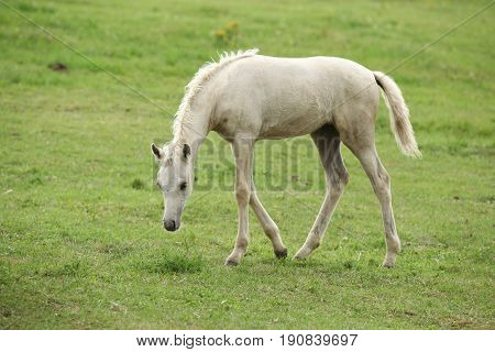 Amazing welsh part-bred foal walking on pasturage