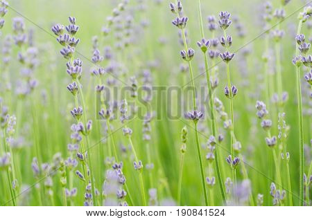 Blossoming of lilac lavender flower in green grass at summer time, natural floral seasonal background