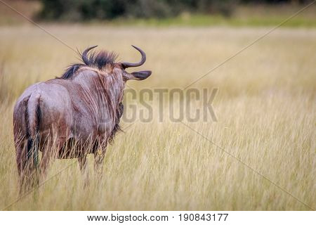 A Blue Wildebeest Looking Around.