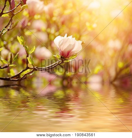 Blossoming of magnolia liliflora Nigra flowers in spring time, sunny floral background with water reflection