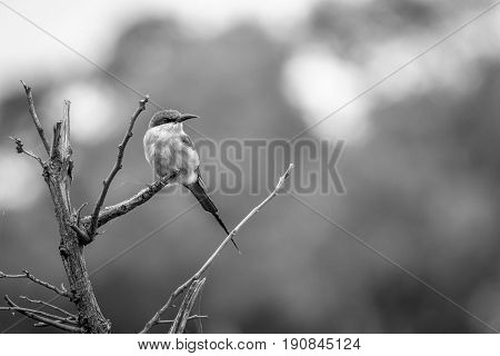 A Southern Carmine Bee-eater Sitting On A Branch.