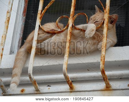 Orange cat sleeping in window sill with tail hanging out An orange tabby sleeps in a tight space between the screen and the window sill