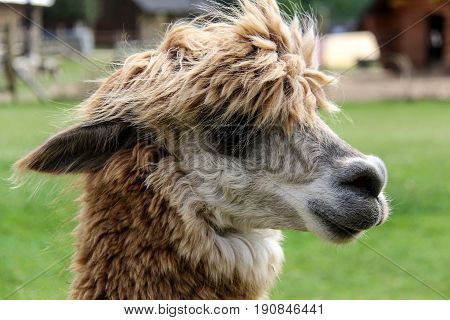 alpaca and llama with funny hairstyle zoo