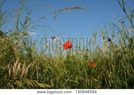 Clap poppy  (  Papaver rhoeas  )  on the meadow