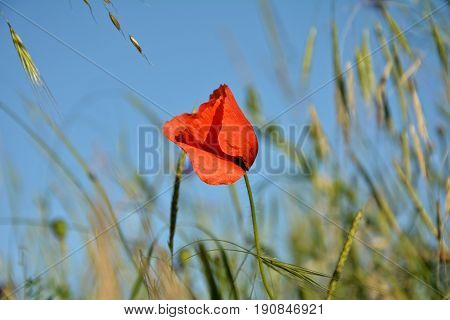 A Clap poppy  (  Papaver rhoeas  )  with many blue sky and grain