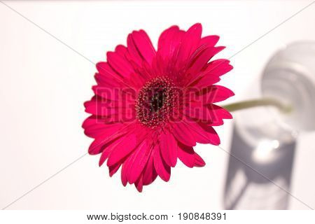 Gerber. Beautiful pink flower. Summer plant. Macro.