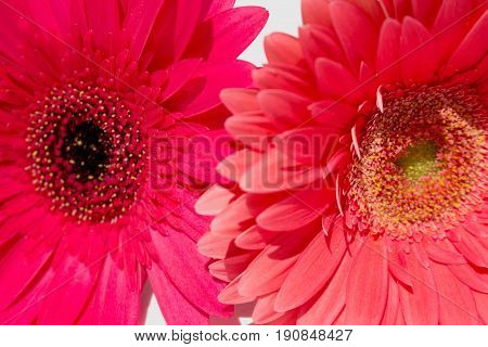 Two gerbers. Beautiful pink flowers isolated on white background.