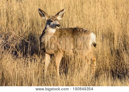 Young Mule Deer Doe rises in a field to greet the new day.