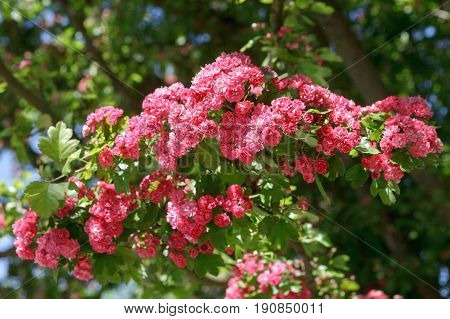 Closeup of a branch of a flowering red Terry hawthorn. Soft focus selective focus