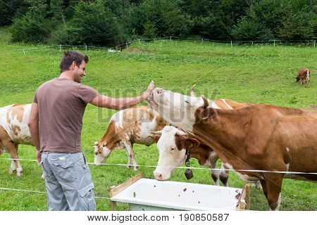 Active male hiker wearing sporty clothes observing and caressing pasturing cows on mountain meadow, Gorenjska region, Alps, Slovenia.