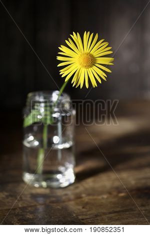 Leopard's Bane (Doronicum orientale) in a glass jar