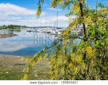 Laburnum blooming in front of marina with moored boats
