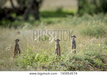 Group Of Meerkats On The Look Out.